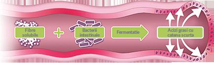 sanatate digestiva intestin schema.png